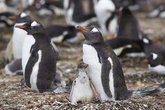 Gentoo Penguin with chick - Falkland Islands Stock Photo