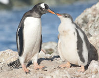 Gentoo penguin chick feeding. Stock Photos