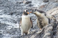 Gentoo Penguin with chick royalty free stock photos