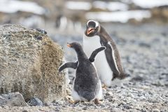 Gentoo Penguin with chick royalty free stock photo