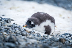 Gentoo penguin chick lying on snowy rocks Royalty Free Stock Image