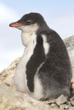 Gentoo penguin chick near the nest on a afternoon Royalty Free Stock Images