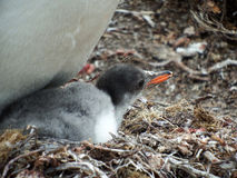 Gentoo penguin chick Royalty Free Stock Image