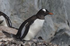 Gentoo Penguin with chick stock photo
