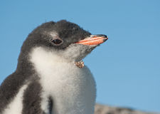 Gentoo penguin chick portrait. Royalty Free Stock Photos