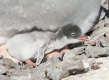 Gentoo penguin chick recently hatched. Stock Photos