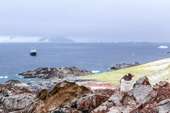 Gentoo penguin chick stitting on the rocks with cruise ship and