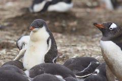 Gentoo Penguin chicks - Falkland Islands Royalty Free Stock Photo