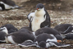 Gentoo Penguin chicks - Falkland Islands Royalty Free Stock Photos