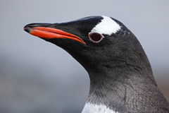 Gentoo penguin close-up, Antarctica Royalty Free Stock Photos