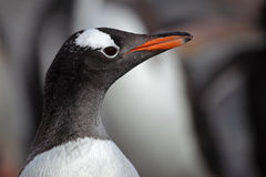 Gentoo penguin close-up, Antarctica Royalty Free Stock Image