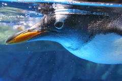 Gentoo Penguin. Close-up shot of Gentoo Penguin Royalty Free Stock Photos