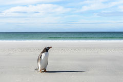 Gentoo penguin on the coast. Royalty Free Stock Image