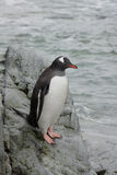 Gentoo penguin on coastal rocks. Royalty Free Stock Image