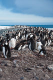 Gentoo Penguin Colony Royalty Free Stock Photography
