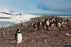 Gentoo Penguin Colony Royalty Free Stock Image