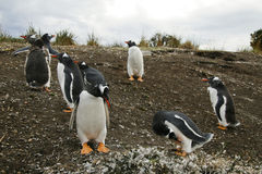 Gentoo penguin colony Royalty Free Stock Photos