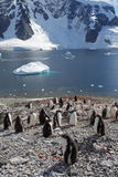 Gentoo penguin colony, Antarctica Stock Photo