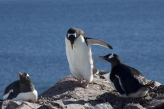 Gentoo penguin colony, antarctica Royalty Free Stock Image