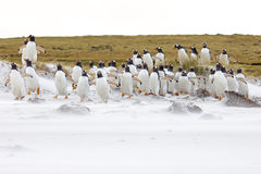 Gentoo penguin colony on the beach Stock Photos