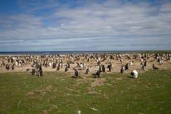 Gentoo Penguin colony Royalty Free Stock Photography