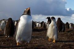 Gentoo Penguin colony Royalty Free Stock Image