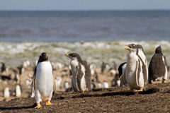 Gentoo Penguin colony Stock Images
