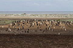Gentoo Penguin colony Royalty Free Stock Images