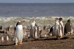 Gentoo Penguin colony Stock Photo