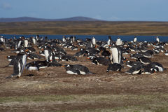 Gentoo Penguin Colony - Falkland Islands Royalty Free Stock Images
