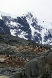 Gentoo penguin colony on a hill, in front of a snow covered mountain Stock Photos