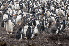 Gentoo Penguin Colony - Parents And Chicks After Rain Royalty Free Stock Photos