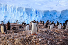 Gentoo penguin colony on the rocks and glacier in the background Royalty Free Stock Image