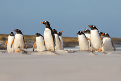 Gentoo Penguin colony standing in the sand dunes. Royalty Free Stock Images