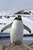 Gentoo penguin colony which stands in its wings Royalty Free Stock Photography