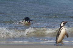 Gentoo Penguin coming ashore - Falkland Islands Stock Photography