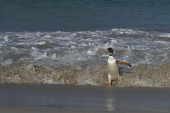 Gentoo Penguin coming ashore - Falkland Islands Stock Images