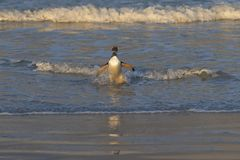 Gentoo Penguin coming ashore royalty free stock images