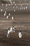 Gentoo Penguin coming home from fishing Stock Images