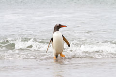 Gentoo penguin is coming home from fishing Royalty Free Stock Photos