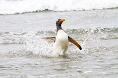 Gentoo penguin is coming home from fishing Royalty Free Stock Images