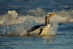 Gentoo penguin coming on shore from a stormy Atlantic ocean. Falkland Islands Royalty Free Stock Images
