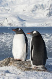 Gentoo penguin couple on the background of the glaciers. Gentoo penguin (Pygoscelis papua) couple on the background of the glaciers Royalty Free Stock Photos