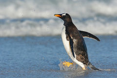 Gentoo penguin with dark blue sea, Falkland Islands. Wildlife scene from wild nature. White beach with wave and bird. Sea wave wit Stock Photo