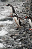 Gentoo penguin, diving into Southern Ocean Stock Photo
