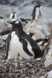 Gentoo penguin with egg. stock photo