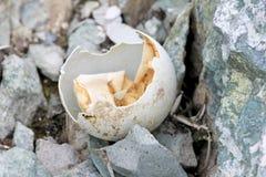 Gentoo penguin egg in Antarctic Peninsula Royalty Free Stock Photography