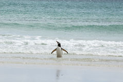 Gentoo Penguin Enjoying The Water Stock Images
