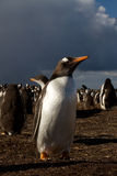 Gentoo Penguin in the evening light Stock Photos