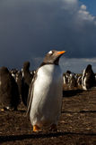 Gentoo Penguin in the evening light Royalty Free Stock Image